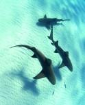 XXL Bodenschutzmatte Haie 190cm x 140cm